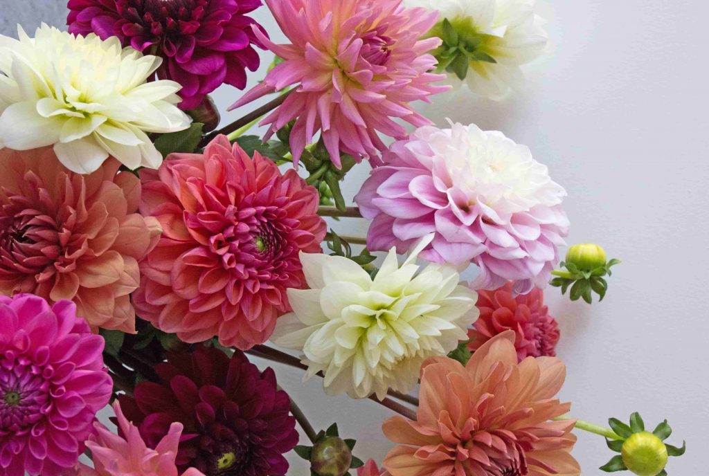 10 Delightful Facts About Dahlias The Real Flower Company Blog