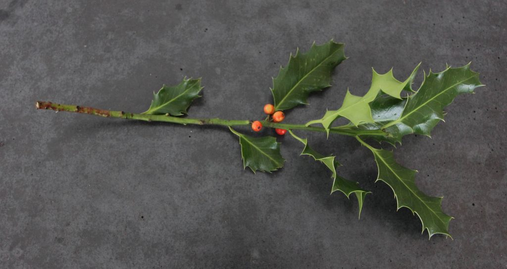 Hedgerow holly picked with young berries in early October