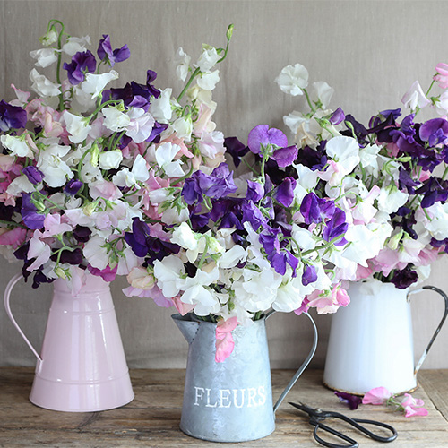 Growing Sweet Peas – Frequently Asked Questions