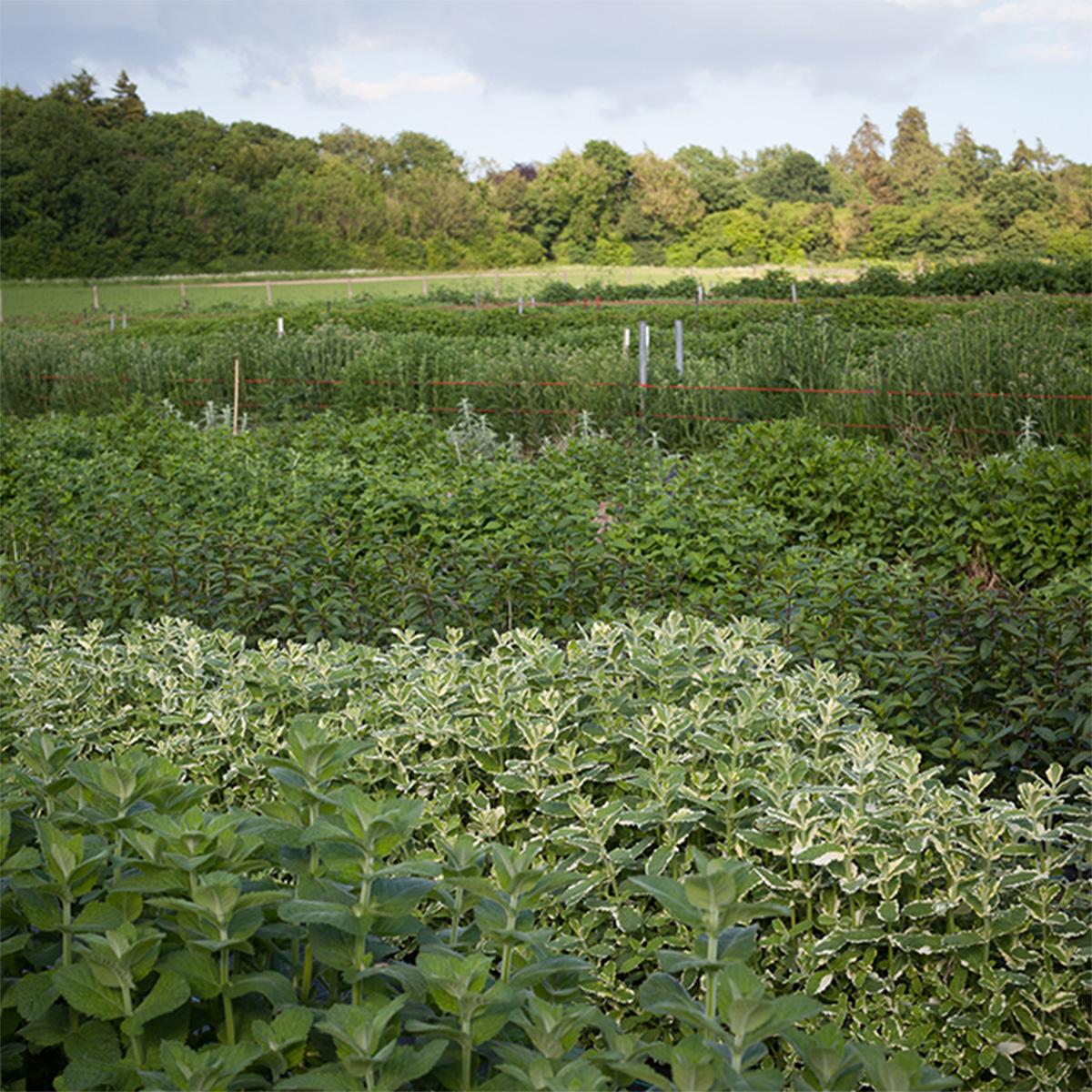 kudo on the farm herbs
