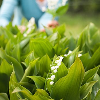How to Grow and Arrange Lily of the Valley