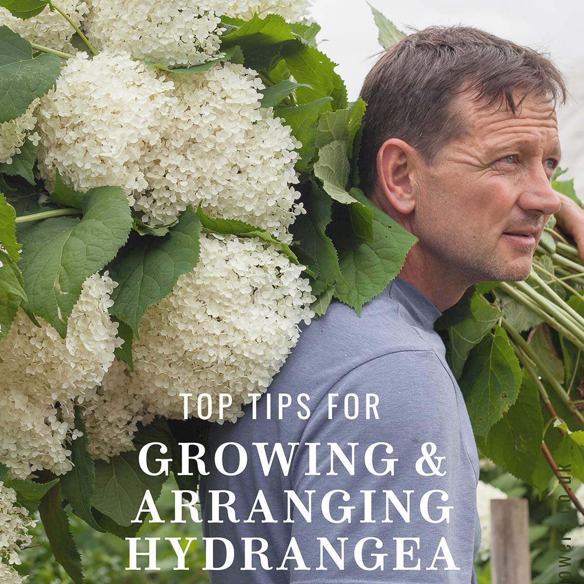 Top tips for growing and arranging hydrangeas